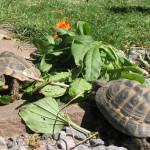 abwechslungsreiches Futter für unsere Landschildkröten