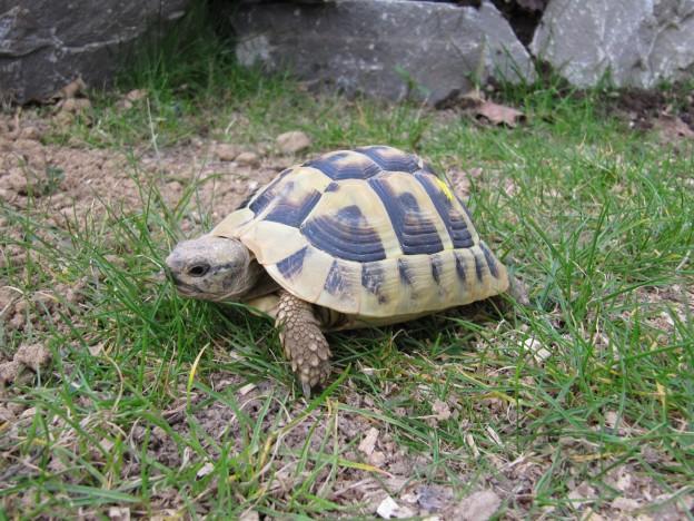 Die Griechische Landschildkröte Testudo hermanni boettgeri