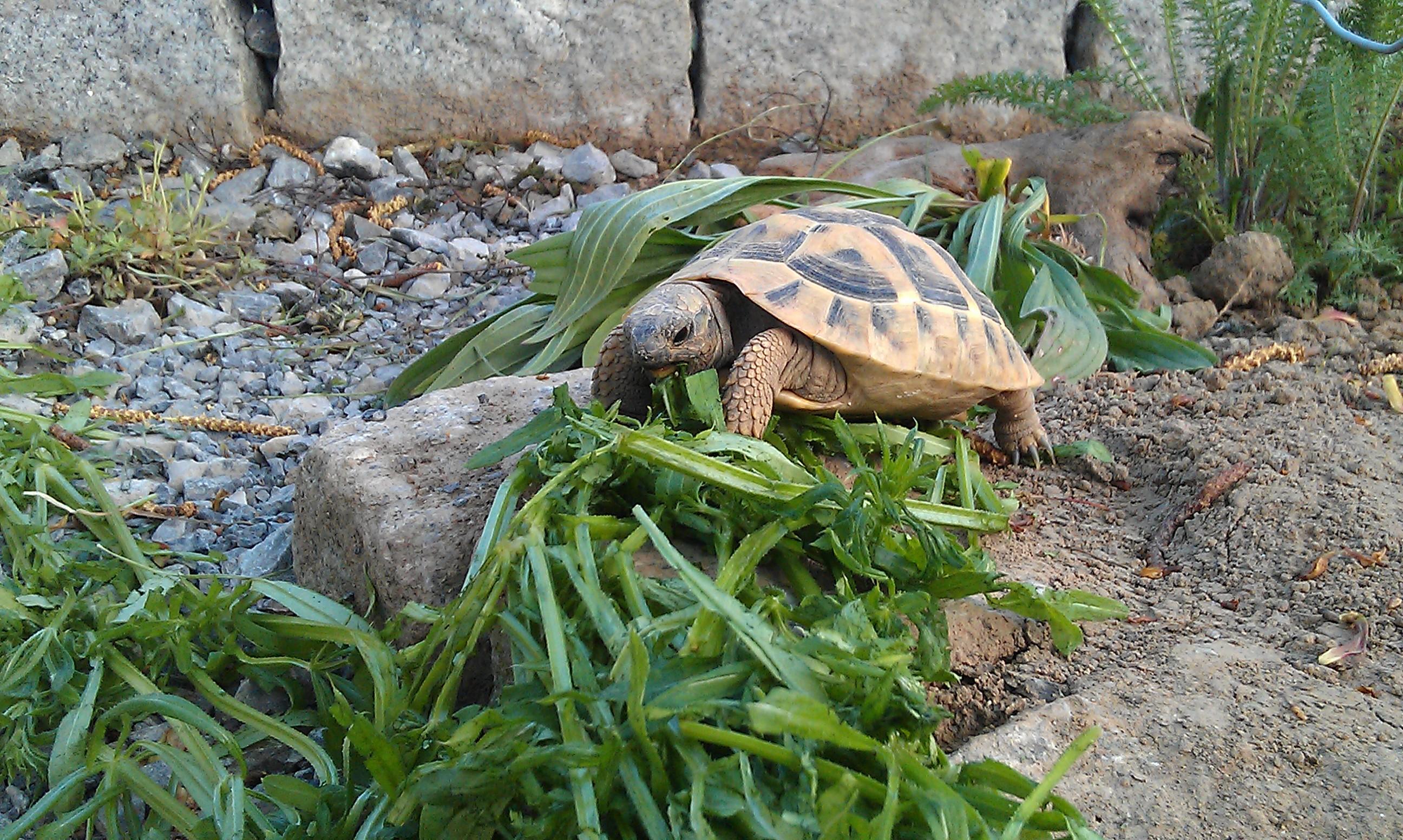 Jungtiere der Griechischen Landschildkröte artgerecht halten