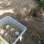 Bergung der Eier und Überführung in den Brutkasten