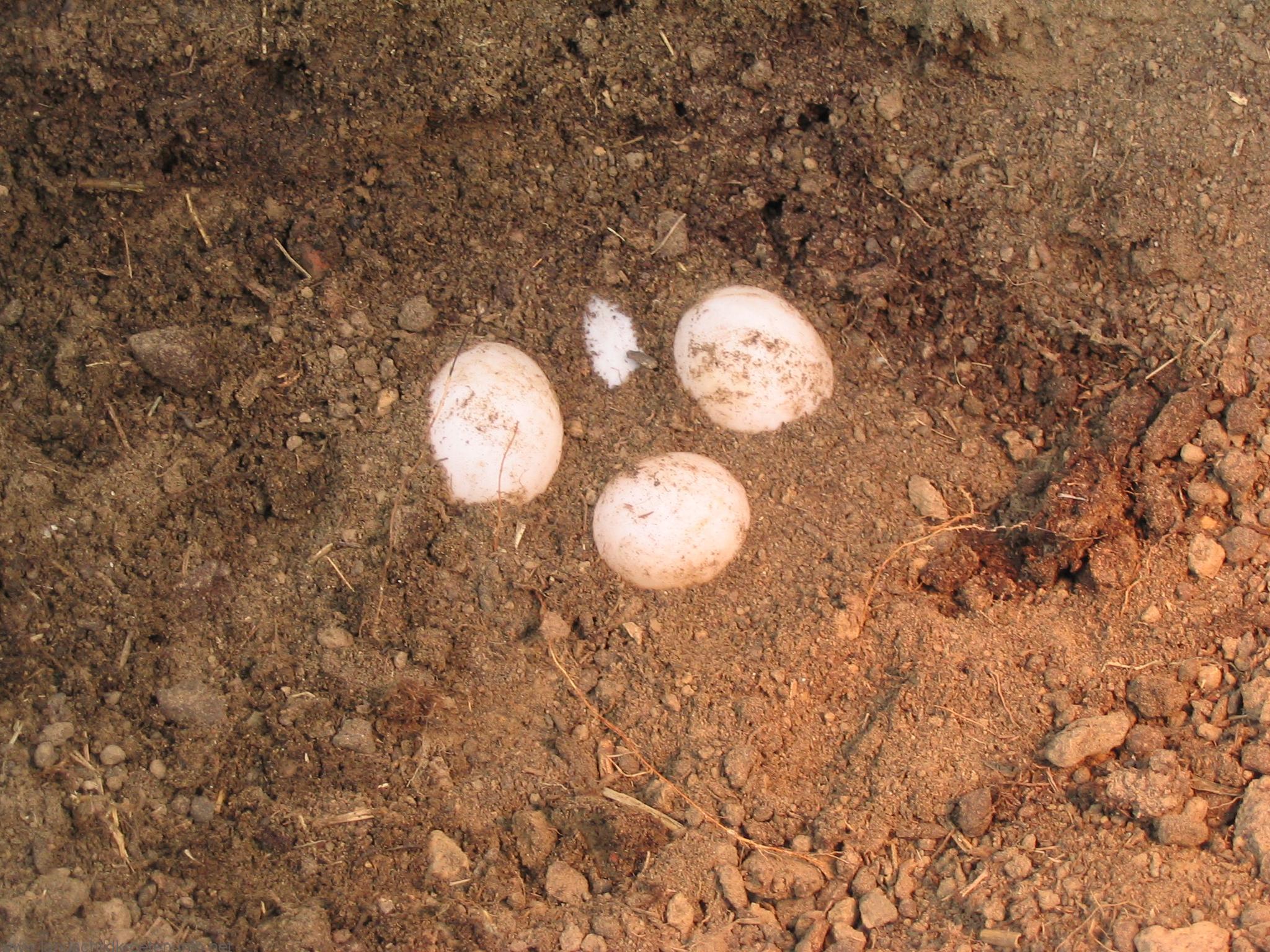 Bergung der Eier