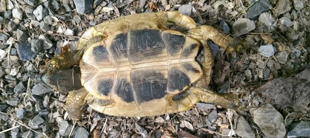 Auf dem Rücken liegende Griechische Landschildkröte