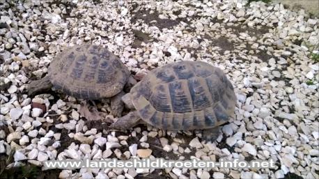 Kommentkampf Griechischer Landschildkröten