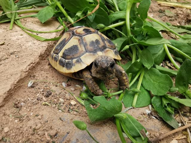 Junge Griechische Landschildkröte