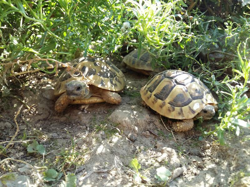 Griechische Landschildkröten werden bei uns artgerecht gehalten. Hier eine kleine Gruppe junger Schildkröten.