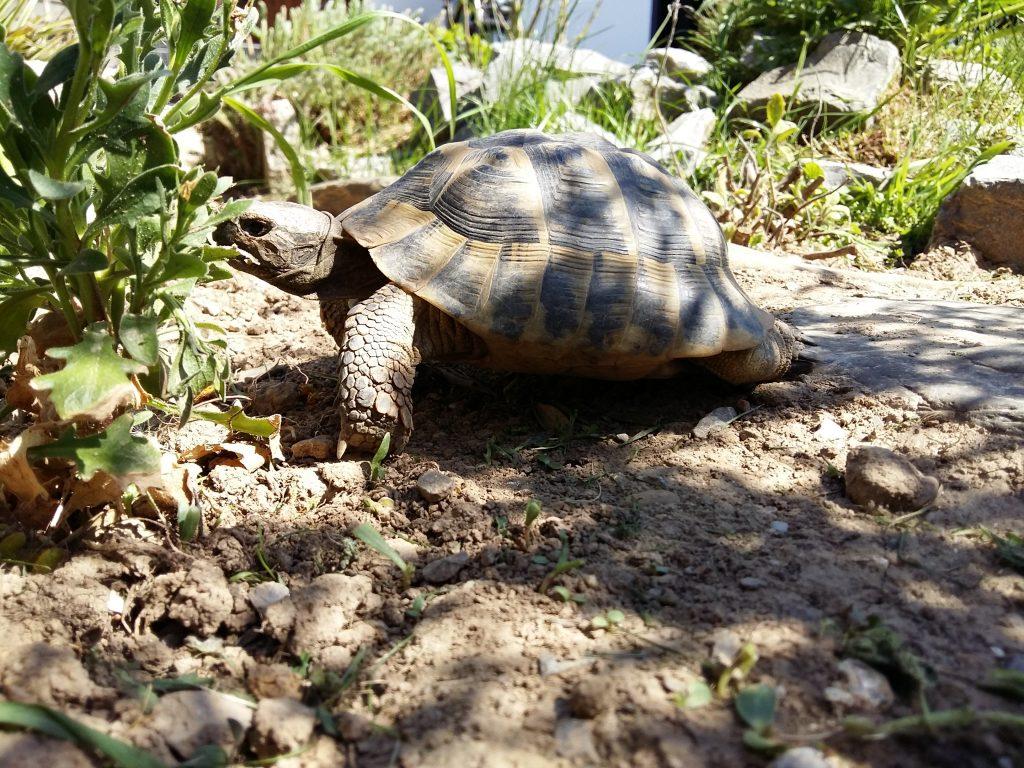 Als Informationsquelle dienen Schildkrötenbücher. Eine Landschildkröten in einem artgerechten Gehege.
