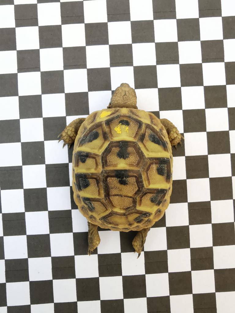 aus unserer Hobbyzucht geben wir diese wunderschöne Schildkröte ab